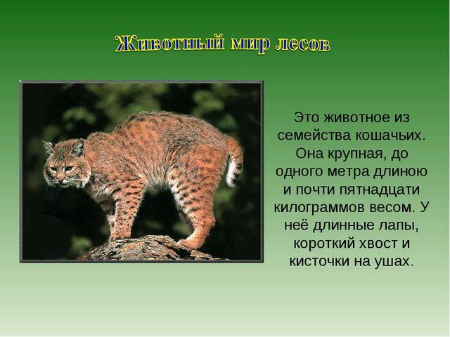 Это животное из семейства кошачьих. Она крупная, до одного метра длиною и поч...