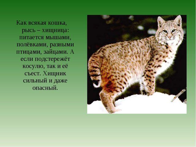 Как всякая кошка, рысь – хищница: питается мышами, полёвками, разными птицами...