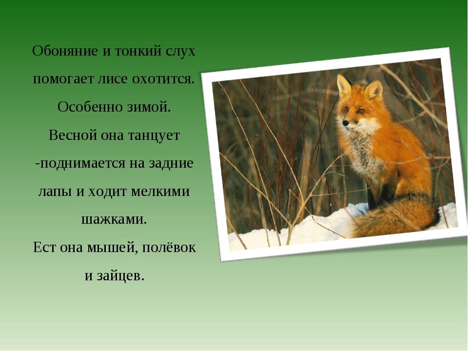Обоняние и тонкий слух помогает лисе охотится. Особенно зимой. Весной она тан...