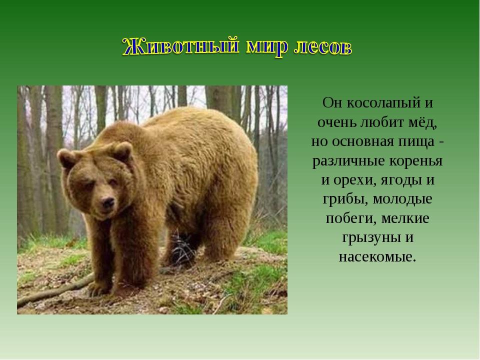 Он косолапый и очень любит мёд, но основная пища - различные коренья и орехи,...
