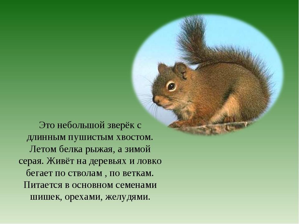 Это небольшой зверёк с длинным пушистым хвостом. Летом белка рыжая, а зимой с...