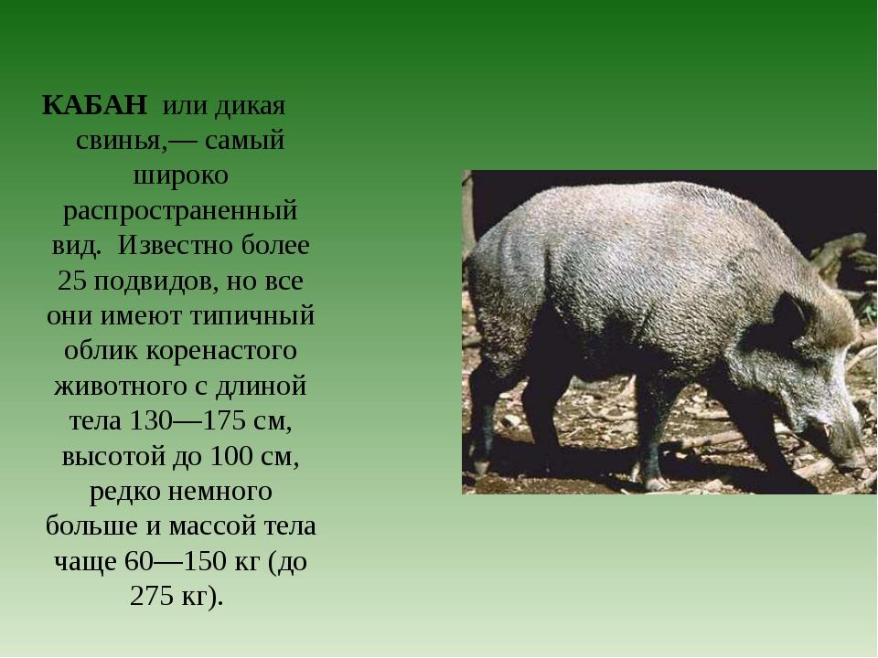 КАБАН или дикая свинья,— самый широко распространенный вид. Известно более 25...