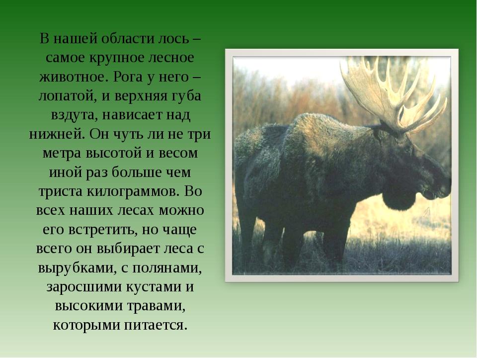 В нашей области лось – самое крупное лесное животное. Рога у него – лопатой,...