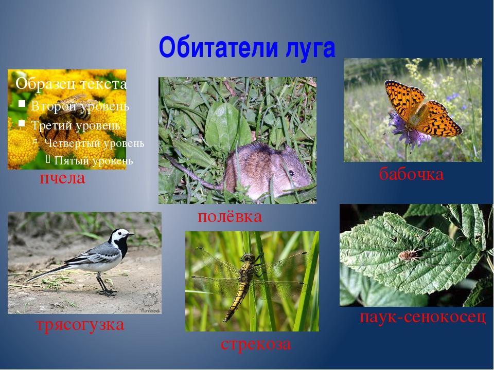 Обитатели луга пчела полёвка бабочка паук-сенокосец стрекоза трясогузка
