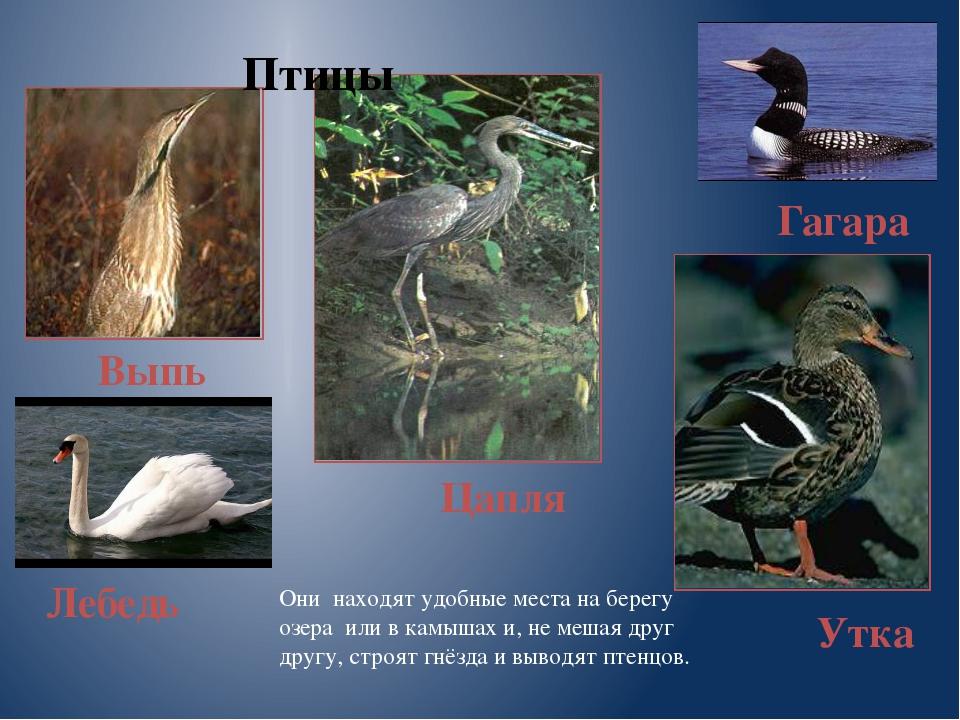 Выпь Птицы Лебедь Цапля Утка Гагара Они находят удобные места на берегу озера...