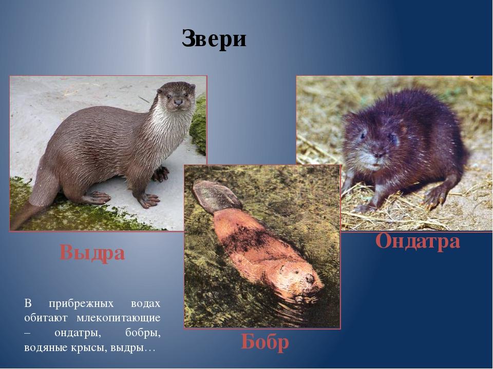 Звери Выдра Бобр Ондатра В прибрежных водах обитают млекопитающие – ондатры,...