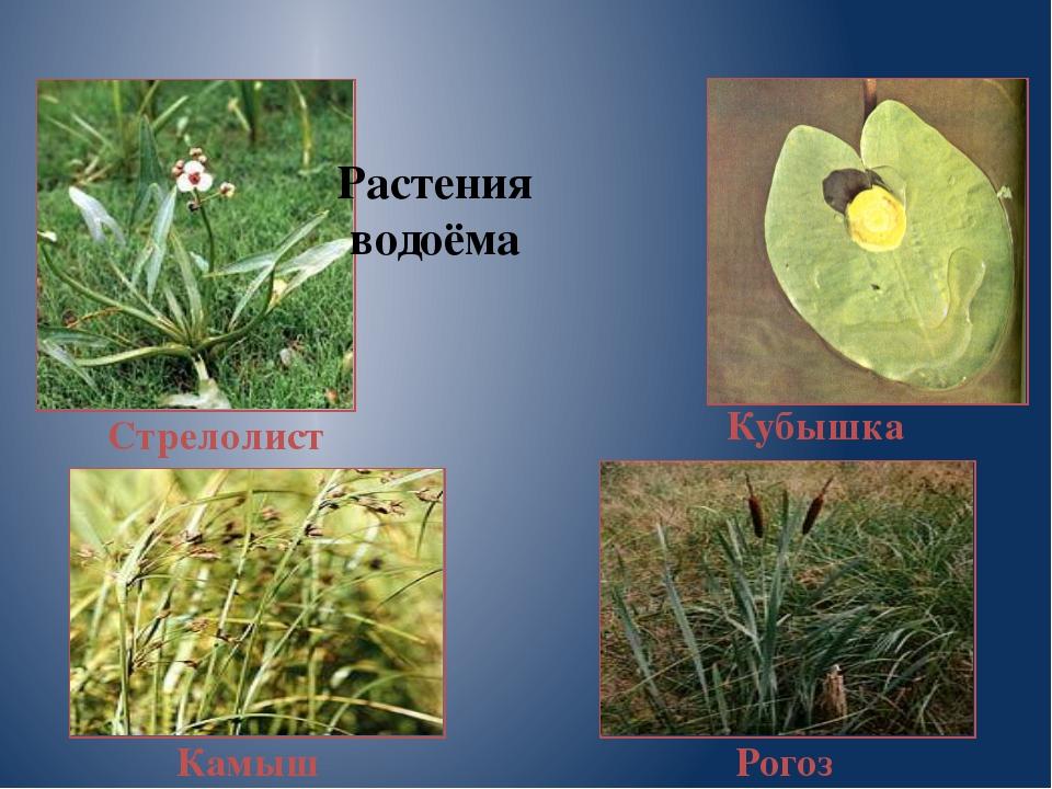 Рогоз Стрелолист Камыш Кубышка Растения водоёма