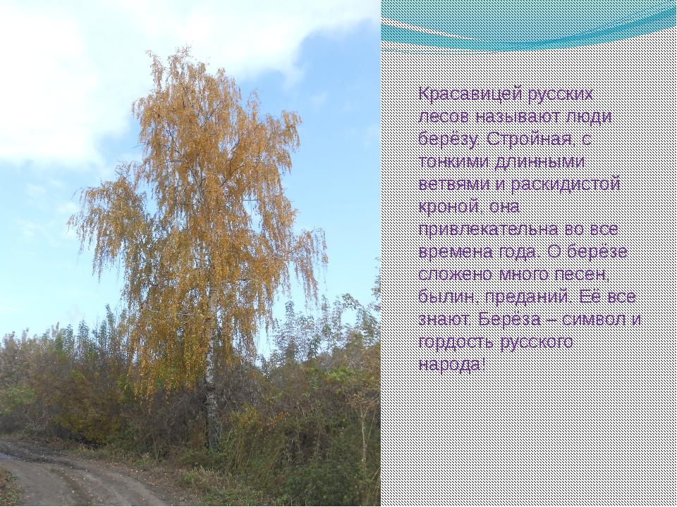 Красавицей русских лесов называют люди берёзу. Стройная, с тонкими длинными в...