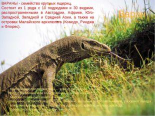Варан ВАРАНЫ - семейство крупных ящериц. Состоит из 1 рода с 10 подродами и 3