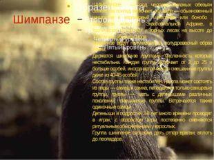 Шимпанзе ШИМПАНǘŠ— род человекообразных обезьян семейства понгид, включает