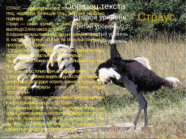 Страус СТРАУС — единственный вид отряда страусообразных птиц надотряда бегающ...
