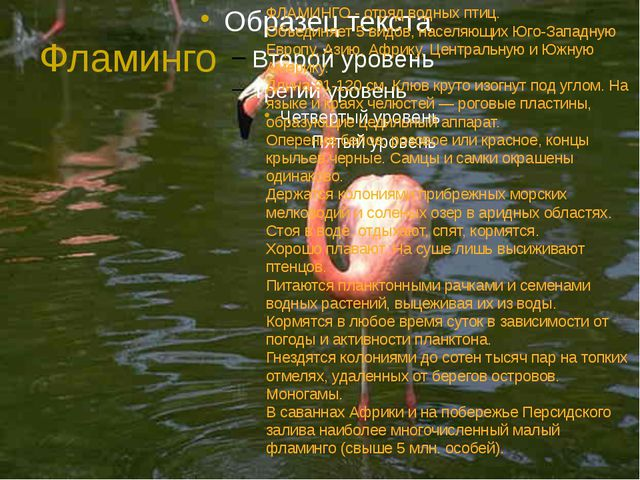 Фламинго ФЛАМИНГО - отряд водных птиц. Объединяет 5 видов, населяющих Юго-Зап...