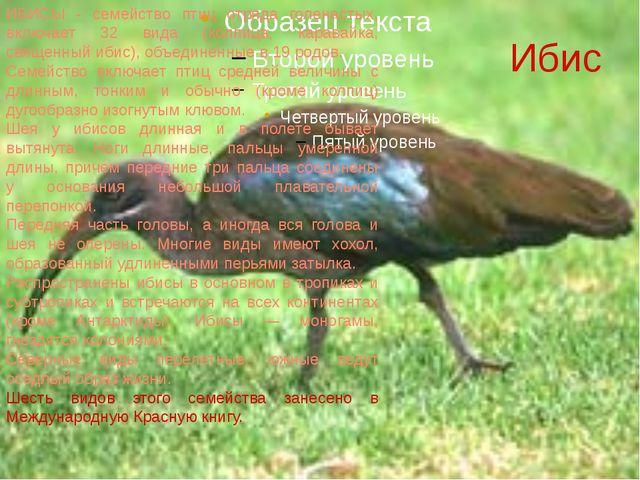 Ибис ИБИСЫ - семейство птиц отряда голенастых, включает 32 вида (колпица, кар...