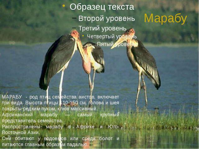 Марабу МАРАБУ - род птиц семейства аистов, включает три вида. Высота птицы 11...