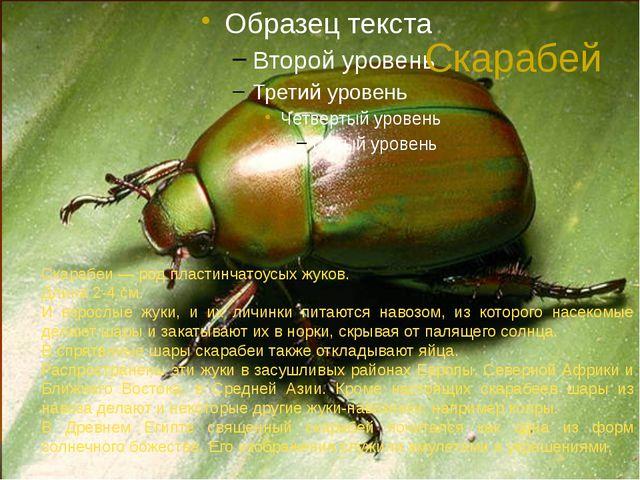 Скарабей Скарабеи — род пластинчатоусых жуков. Длина 2-4 см. И взрослые жуки,...