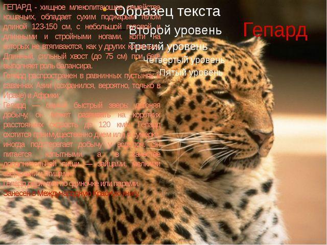 Гепард ГЕПАРД - хищное млекопитающее семейства кошачьих, обладает сухим поджа...