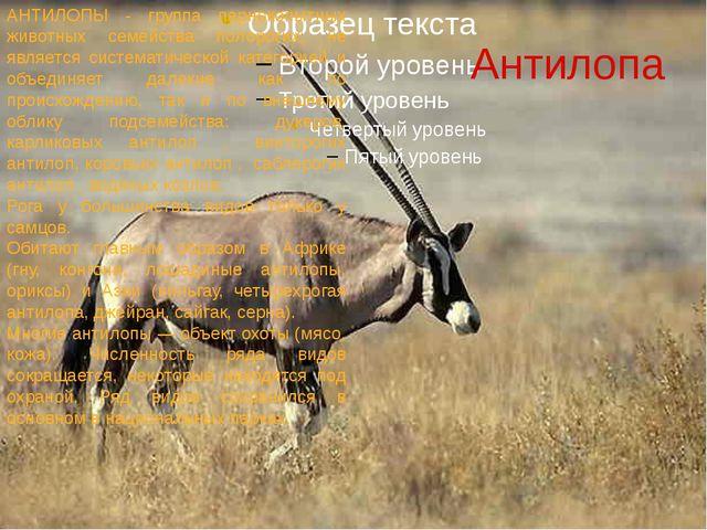 Антилопа АНТИЛОПЫ - группа парнокопытных животных семейства полорогих; не явл...