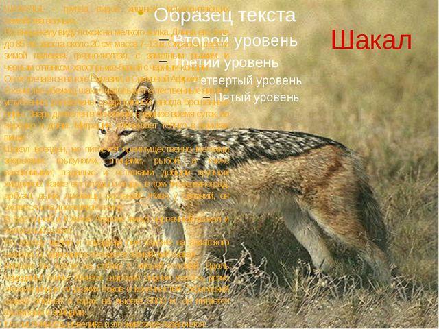 Шакал ШАКАЛЫ, - группа видов хищных млекопитающих семейства волчьих. По внешн...