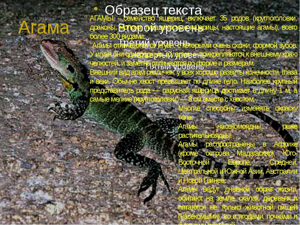 Агама АГАМЫ - семейство ящериц; включает 35 родов (круглоголовки, драконы, мо...