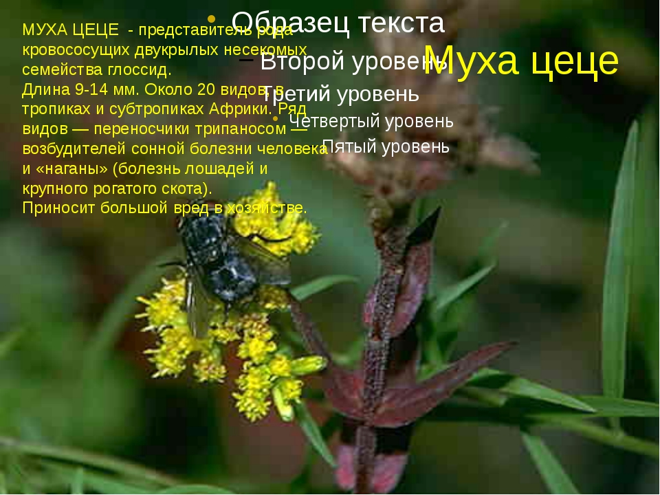 Муха цеце МУХА ЦЕЦЕ - представитель рода кровососущих двукрылых несекомых сем...