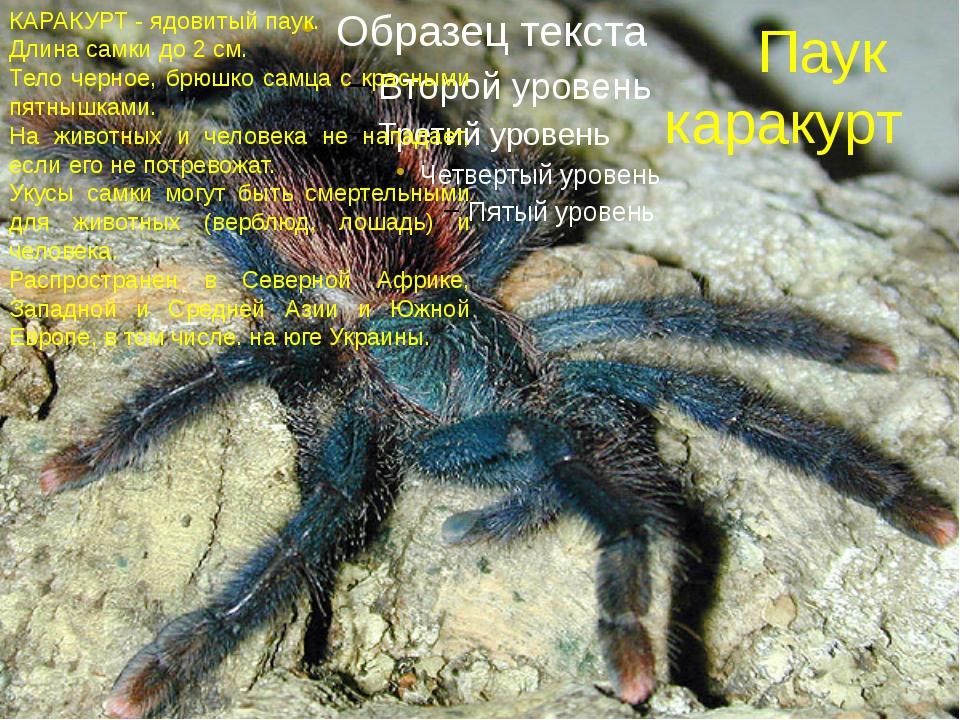 Паук каракурт КАРАКУРТ - ядовитый паук. Длина самки до 2 см. Тело черное, брю...