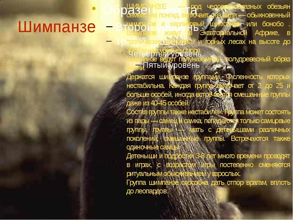 Шимпанзе ШИМПАНǘŠ— род человекообразных обезьян семейства понгид, включает...