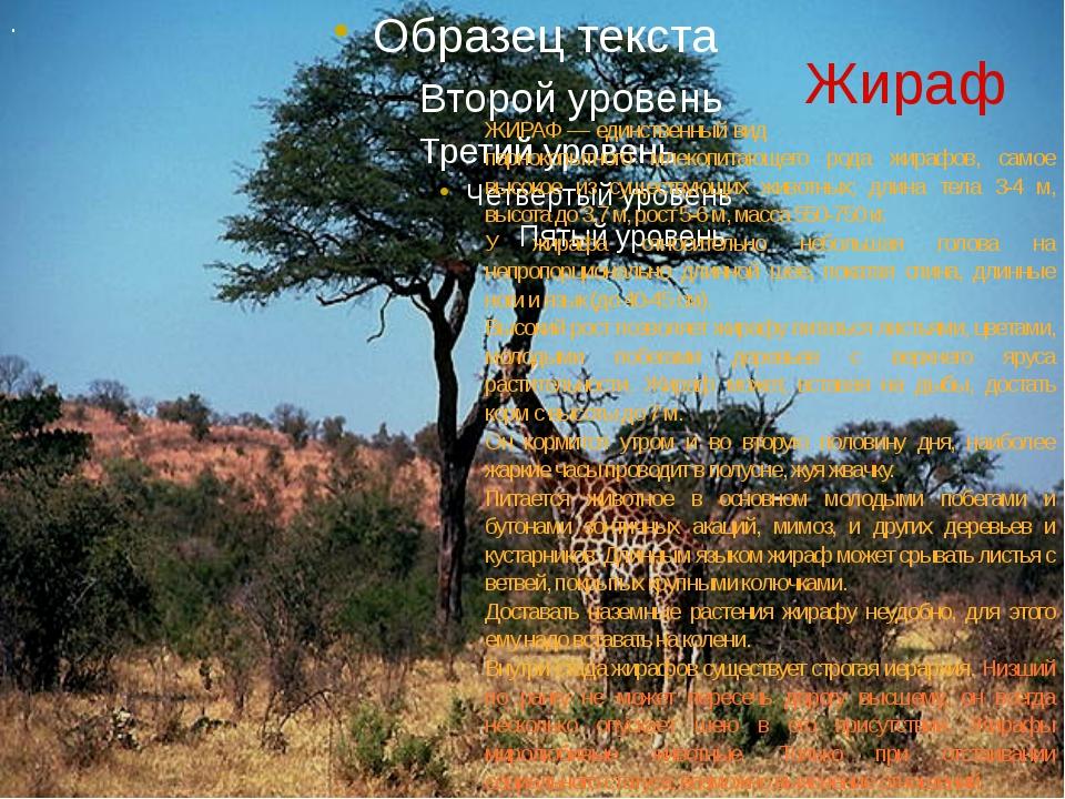 Жираф . ЖИРАФ — единственный вид парнокопытного млекопитающего рода жирафов,...