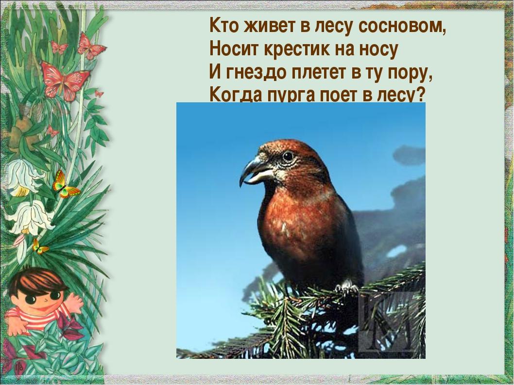 Кто живет в лесу сосновом, Носит крестик на носу И гнездо плетет в ту пору, К...