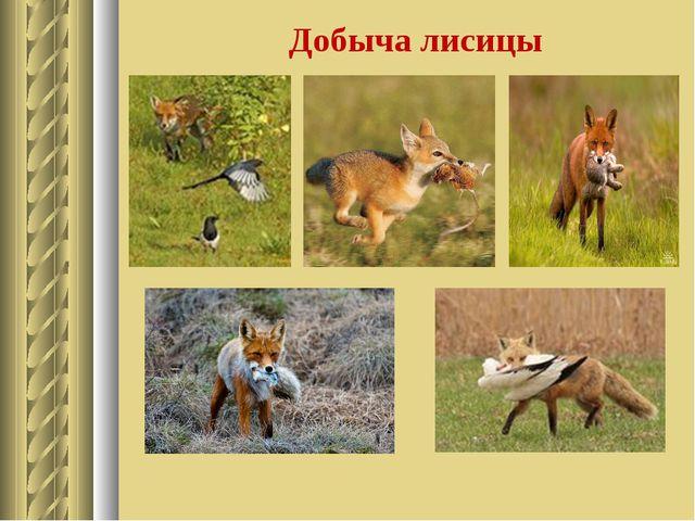 Добыча лисицы