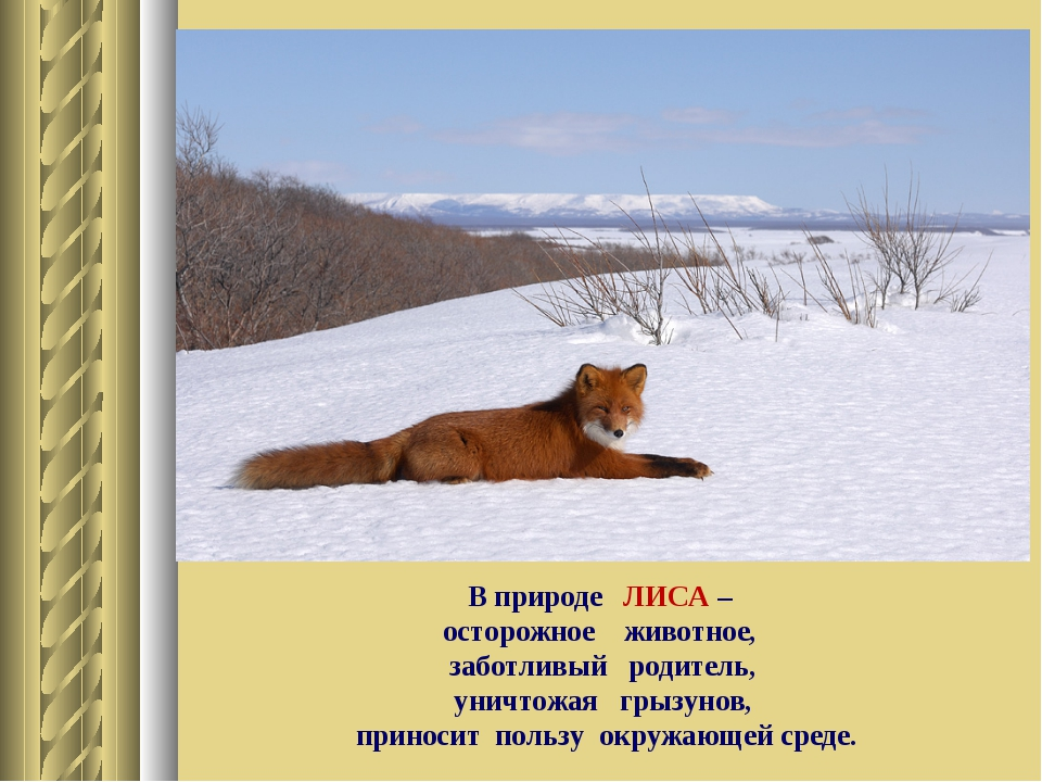 В природе ЛИСА – осторожное животное, заботливый родитель, уничтожая грызунов...