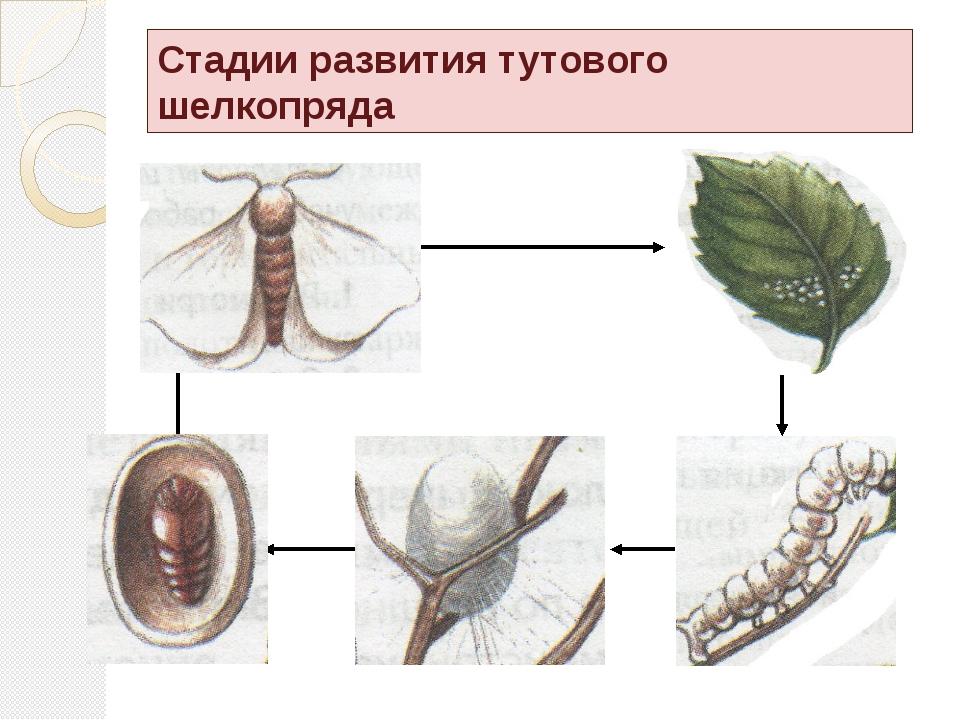 Гусеница питается только листьями тутового дерева, отсюда и её название.