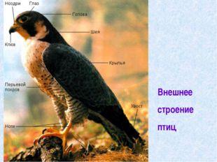 Внешнее строение птиц