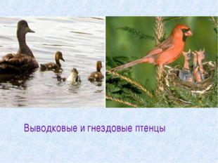 Выводковые и гнездовые птенцы