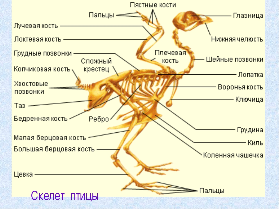Скелет птицы ...