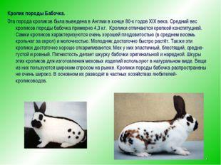 Кролик породы Бабочка. Эта порода кроликов была выведена в Англии в конце 80-