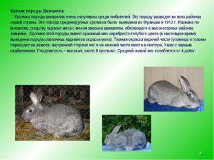 * Кролик породы Шиншилла. Кролики породы шиншилла очень популярны среди любит