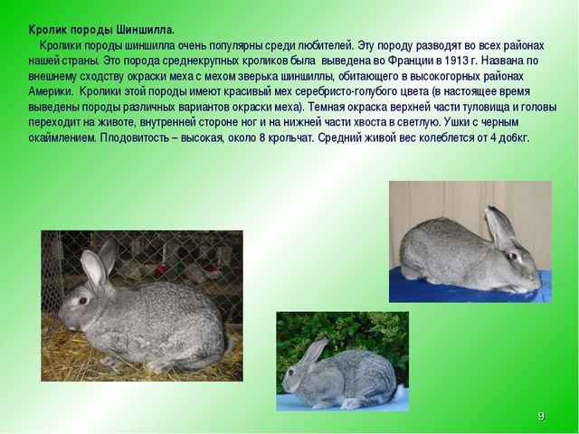 * Кролик породы Шиншилла. Кролики породы шиншилла очень популярны среди любит...