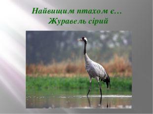 Найвищим птахом є… Журавель сірий