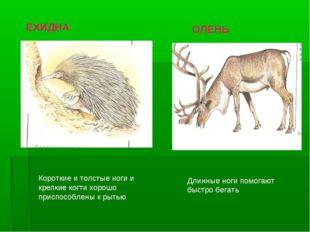 Короткие и толстые ноги и крепкие когти хорошо приспособлены к рытью Длинные