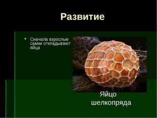 Развитие Сначала взрослые самки откладывают яйца Яйцо шелкопряда