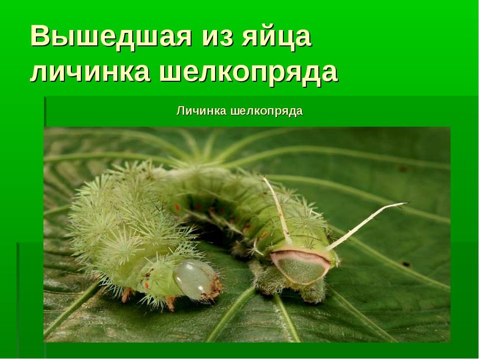 Вышедшая из яйца личинка шелкопряда Личинка шелкопряда