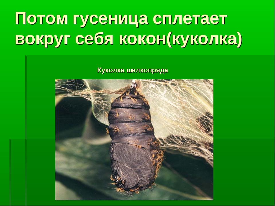 Потом гусеница сплетает вокруг себя кокон(куколка) Куколка шелкопряда