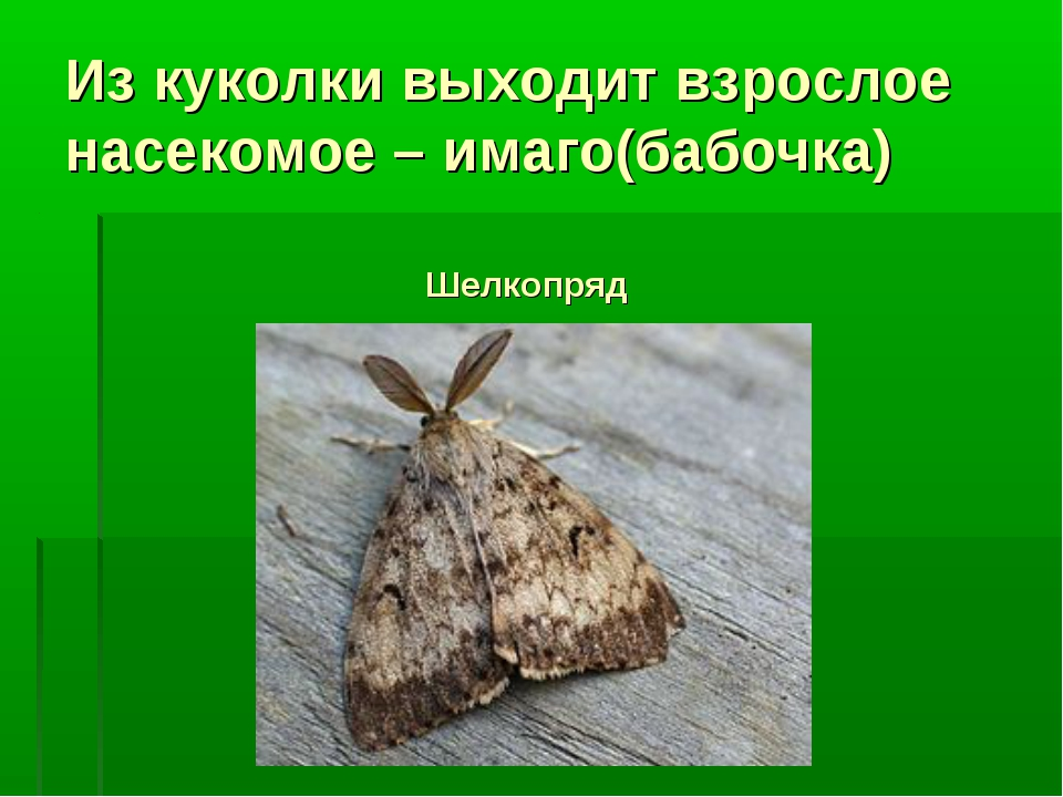 Из куколки выходит взрослое насекомое – имаго(бабочка) Шелкопряд