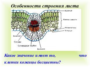 Особенности строения листа Какое значение имеет то, что клетки кожицы бесцвет