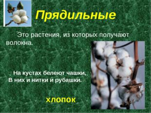 Прядильные Это растения, из которых получают волокна. На кустах белеют чашки,