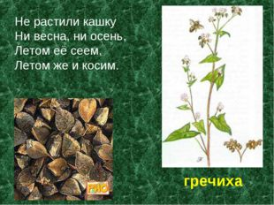 Не растили кашку Ни весна, ни осень, Летом её сеем, Летом же и косим. гречиха