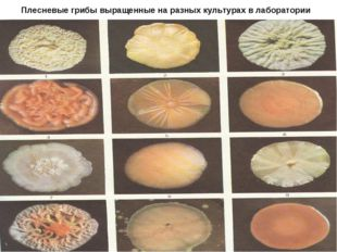 Плесневые грибы выращенные на разных культурах в лаборатории