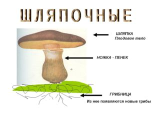 ШЛЯПКА Плодовое тело НОЖКА - ПЕНЕК ГРИБНИЦА Из нее появляются новые грибы