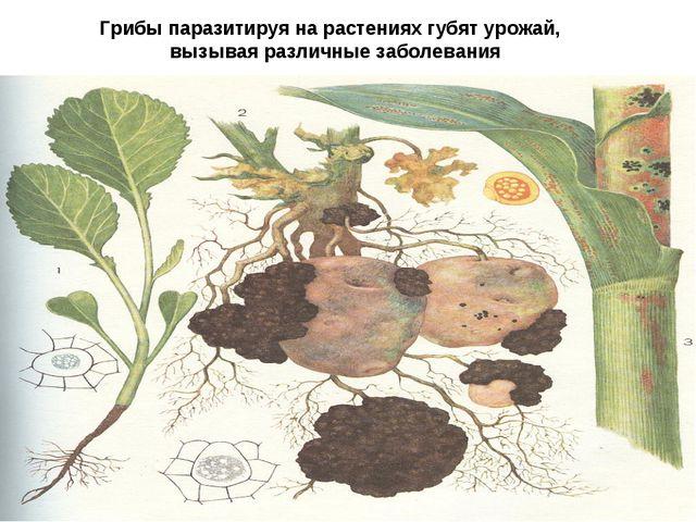 Грибы паразитируя на растениях губят урожай, вызывая различные заболевания