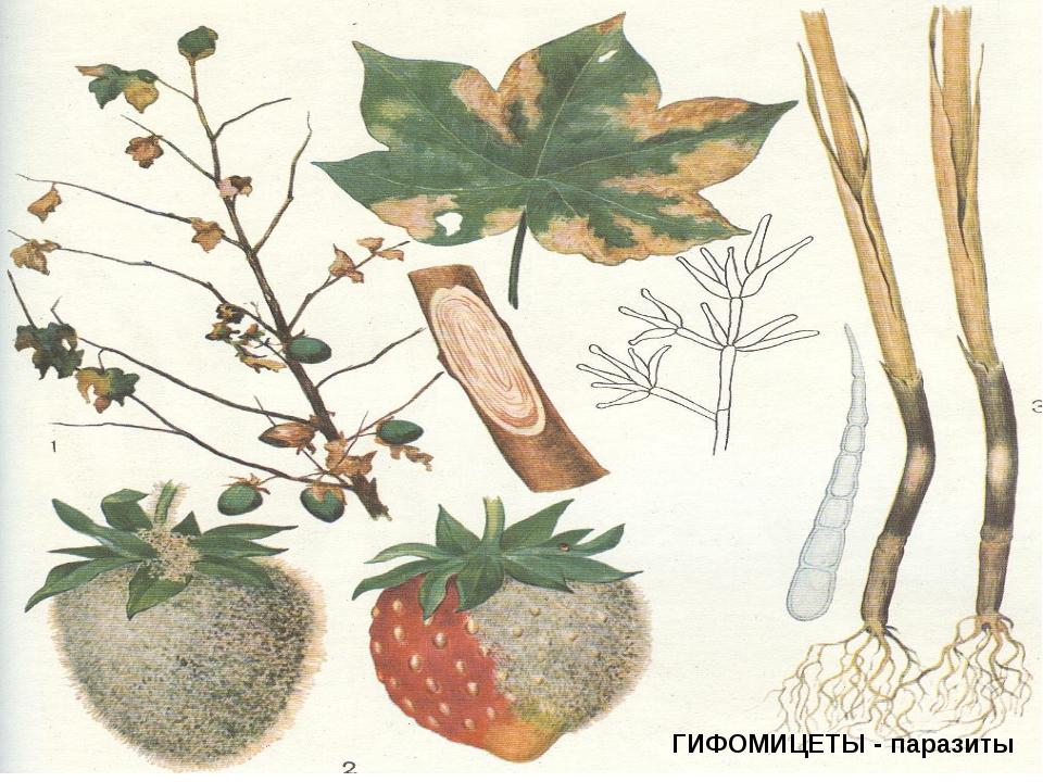 ГИФОМИЦЕТЫ - паразиты